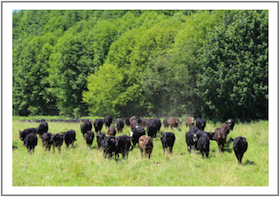 healthy herd at the gleason ranch