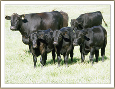 Our healthy cattle